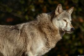 Wolf_Dub1410-Tear-01