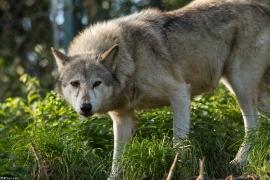 Wolf_Dub1410-Tear-02