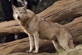 Wolf_Dub1410-Tear-03