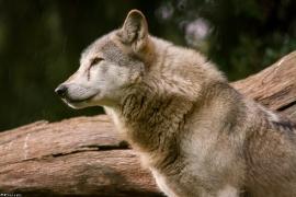 Wolf_Dub1410-Tear-04
