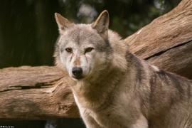 Wolf_Dub1410-Tear-05