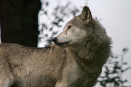 Wolf_Dub1410-Tear-06