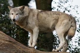 Wolf_Dub1410-Tear-07