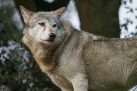 Wolf_Dub1410-Tear-08