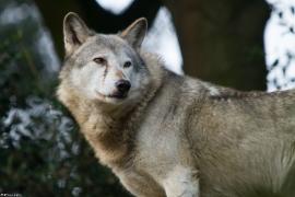 Wolf_Dub1410-Tear-09