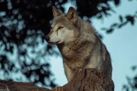 Wolf_Dub1410-Tear-10