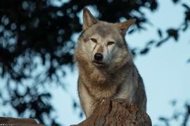 Wolf_Dub1410-Tear-11