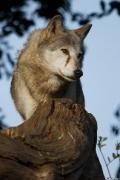 Wolf_Dub1410-Tear-13