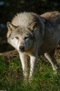 Wolf_Dub1410-Tear-14