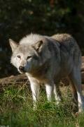 Wolf_Dub1410-Tear-15