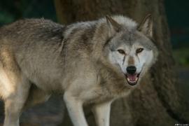 Wolf_Dub1410-Tear-17
