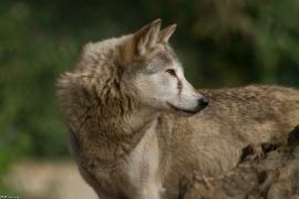 Wolf_Dub1410-Tear-18