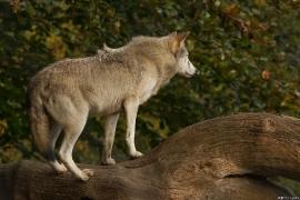 Wolf_Dub1410-Tear-19