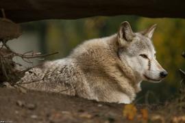 Wolf_Dub1410-Tear-20