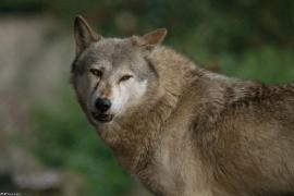 Wolf_Dub1410-Tear-21