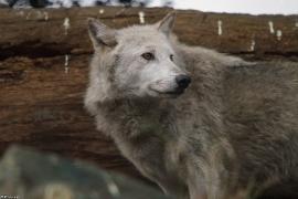 Wolf_Dub1501-Chenoa-01