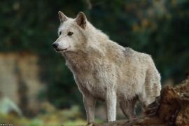 Wolf_Dub1501-Chenoa-02