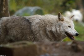 Wolf_Dub1501-Chenoa-03