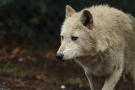 Wolf_Dub1501-Chenoa-04