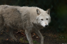 Wolf_Dub1501-Chenoa-05