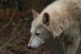 Wolf_Dub1501-Chenoa-06