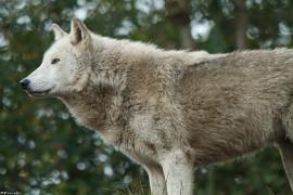 Wolf_Dub1501-Chenoa-07