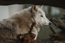 Wolf_Dub1501-Chenoa-08