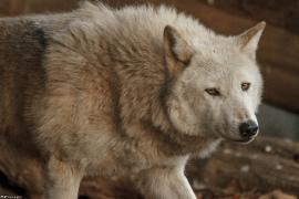 Wolf_Dub1501-Chenoa-09