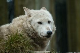 Wolf_Dub1501-Chenoa-10