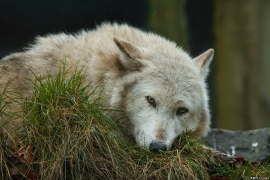 Wolf_Dub1501-Chenoa-11