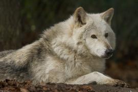 Wolf_Dub1501-Chetan-01