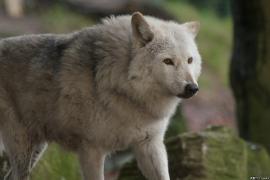 Wolf_Dub1501-Chetan-02