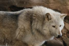 Wolf_Dub1501-Chetan-03