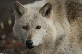 Wolf_Dub1501-Chetan-04