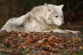 Wolf_Dub1501-Chetan-05