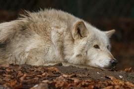 Wolf_Dub1501-Chetan-06