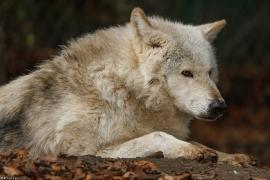 Wolf_Dub1501-Chetan-07