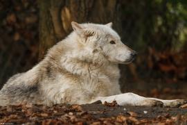 Wolf_Dub1501-Chetan-08
