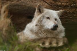 Wolf_Dub1501-Chetan-09
