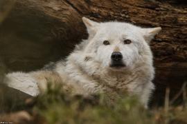 Wolf_Dub1501-Chetan-10