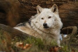 Wolf_Dub1501-Chetan-11