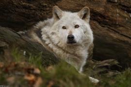 Wolf_Dub1501-Chetan-12