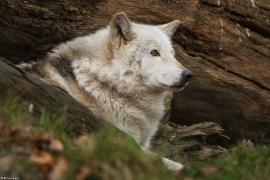 Wolf_Dub1501-Chetan-13