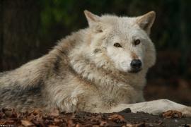 Wolf_Dub1501-Chetan-14