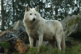 Wolf_Dub1501-Leikun-01