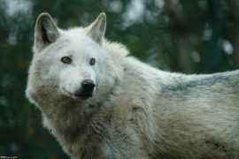 Wolf_Dub1501-Leikun-02