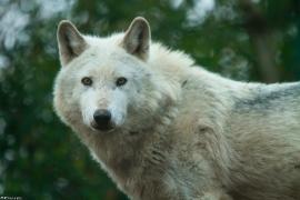 Wolf_Dub1501-Leikun-03
