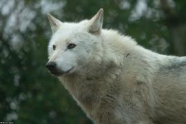 Wolf_Dub1501-Leikun-04