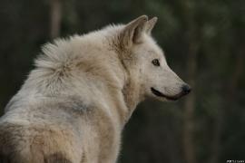 Wolf_Dub1501-Leikun-05