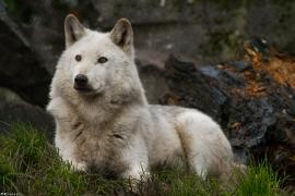 Wolf_Dub1501-Leikun-06
